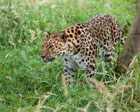 Léopard d'Amur rôdant par la longue herbe Image stock