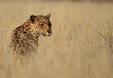 Léopard d'isolement dans l'herbe grande Photo stock