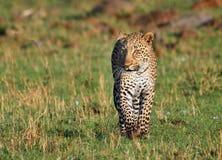 Léopard d'isolement marchant vers l'appareil-photo avec l'espace vide Images stock