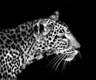 Léopard d'isolement sur le noir Image libre de droits