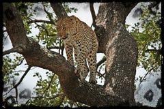 Léopard dans l'arbre Photographie stock