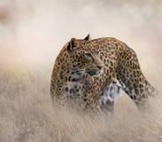 Léopard dans l'herbe photographie stock libre de droits