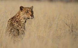 Léopard dans l'herbe grande Photographie stock libre de droits