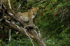 Léopard dans le désert de Kalahari du Botswana Photos libres de droits