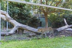 Léopard dans le zoo photo stock