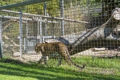 Léopard dans le zoo photographie stock