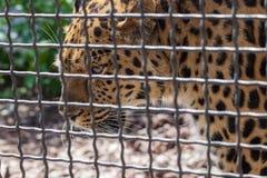 Léopard dans le zoo de Moscou photo libre de droits