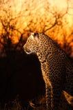 Léopard dans les sables de Sabi Image libre de droits