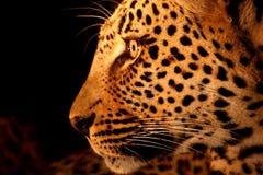 Léopard dans les sables de Sabi Photo libre de droits
