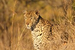 Léopard dans les sables de Sabi Images stock