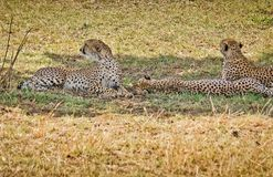 Léopard dans leur habitat naturel dans la savane africaine Les RP images libres de droits