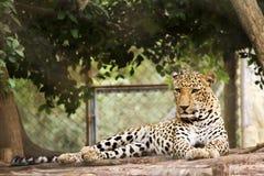 Léopard dans sa cage Photo stock
