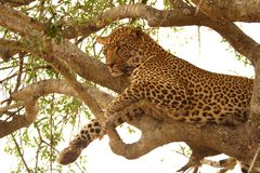 Léopard dans un arbre Photographie stock libre de droits