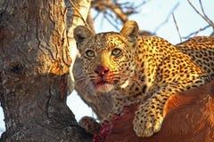 Léopard dans un arbre avec la mise à mort Photographie stock libre de droits