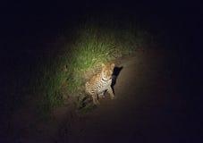Léopard dans un projecteur tandis que sur le vagabondage la nuit Images libres de droits