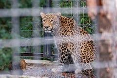 Léopard dans un zoo photo stock
