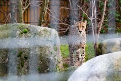 Léopard dans un zoo photos libres de droits