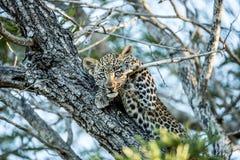 Léopard de bébé accrochant dans un arbre Images libres de droits