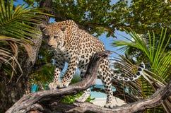 Léopard de jungle image stock