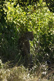 Léopard de mâle de Serengeti image libre de droits