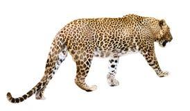 Léopard de marche au-dessus de blanc Images stock