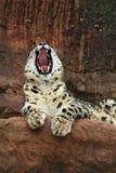 Léopard de neige Photos stock