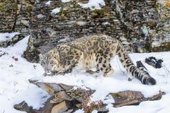 Léopard de neige Photos libres de droits