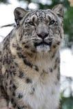 Léopard de neige Photo stock