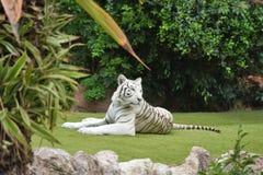 Léopard de neige au zoo photographie stock
