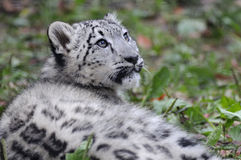 Léopard de neige Cub Photo stock