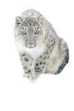 Léopard de neige d'isolement sur le fond blanc Photos stock