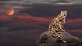 Léopard de neige dans la lumière de lune Photographie stock