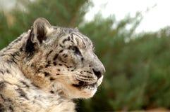 Léopard de neige dans le profil Images libres de droits