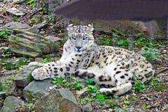 Léopard de neige dans le zoo de Bronx, New York, Etats-Unis Image libre de droits
