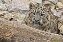 Léopard de neige de cachette Image libre de droits