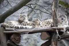 Léopard de neige de famille, uncia d'Uncia Images stock