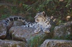 Léopard de neige de observation Photographie stock libre de droits