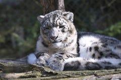 Léopard de neige de repos, uncia d'Uncia Images libres de droits