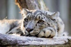 Léopard de neige de repos, uncia d'Uncia, portrait Images libres de droits