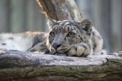 Léopard de neige de repos, uncia d'Uncia, portrait Photos libres de droits