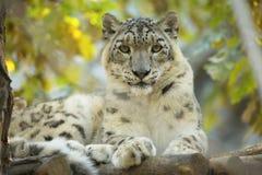 Léopard de neige de repos, uncia d'Uncia, portrait Photographie stock