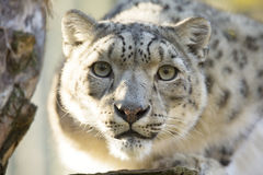 Léopard de neige de repos, uncia d'Uncia, portrait Image stock