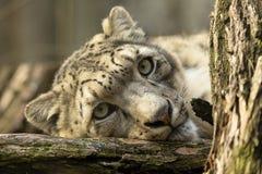 Léopard de neige de repos, uncia d'Uncia, portrait Images stock