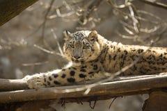 Léopard de neige de repos, uncia d'Uncia, portrait Photographie stock libre de droits