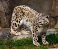 Léopard de neige en captivité photos stock