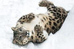 Léopard de neige espiègle II Photographie stock