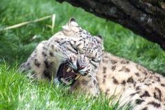 Léopard de neige grognant, yeux fermés Photo libre de droits