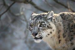 Léopard de neige, once, panthera, irbis image stock