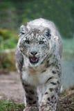 Léopard de neige rôdant Photos libres de droits