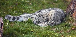 Léopard de neige de sommeil Images libres de droits